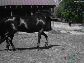 Horse Stock by 69PeacefulChaos69