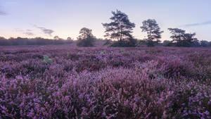Violet Hills