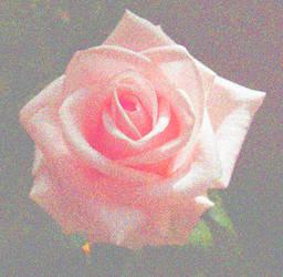 gore rose