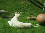 White Lion Cub Rear - Laying Down