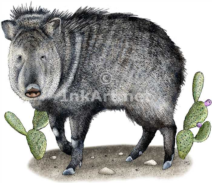 Collared Peccary by rogerdhall