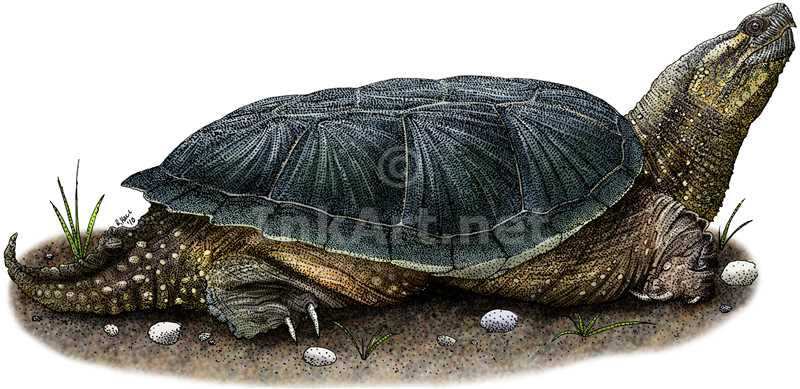 common snapping turtle by rogerdhall on deviantart. Black Bedroom Furniture Sets. Home Design Ideas