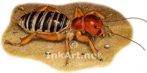 Jerusalem Cricket or Potato Bug