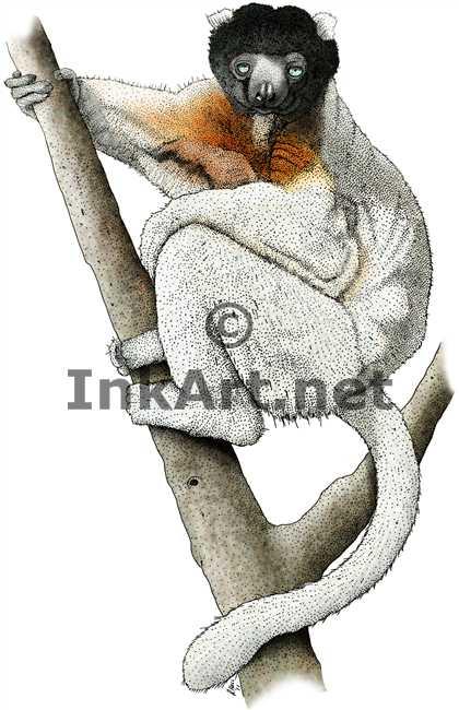 Sifaka Lemur by rogerdhall