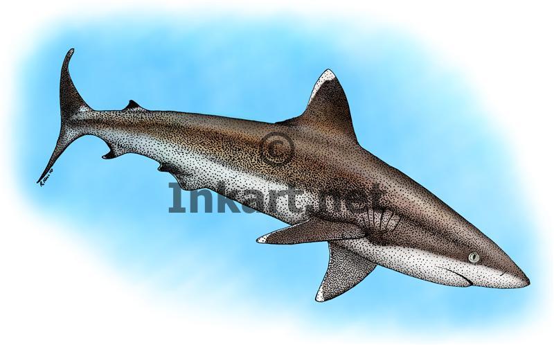 Silvertip Reef Shark by rogerdhall