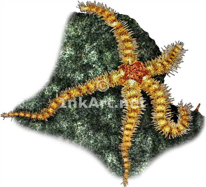 Spiny Brittle Star by rogerdhall on DeviantArt
