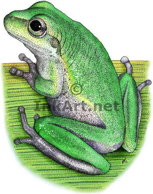 Squirrel Treefrog by rogerdhall