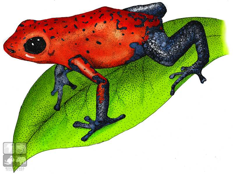 Strawberry Poison Dart Frog by rogerdhall