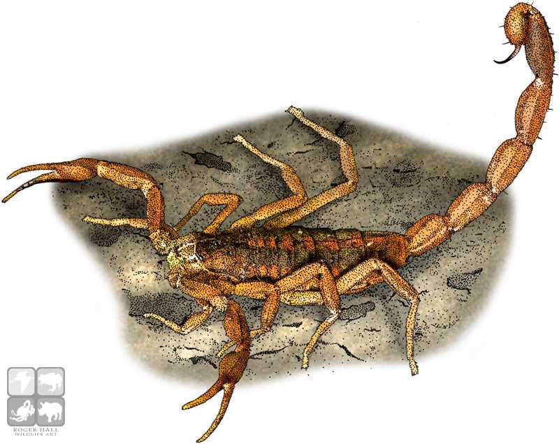 Striped Bark Scorpion by rogerdhall