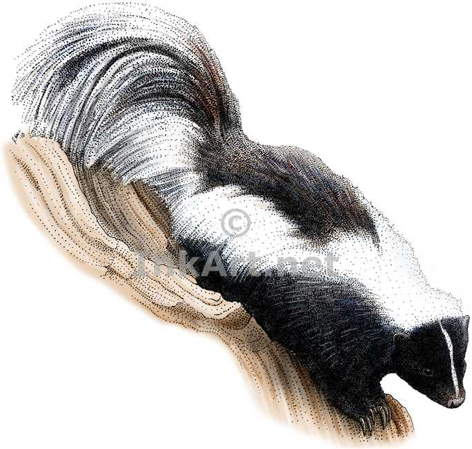 Striped Skunk by rogerdhall