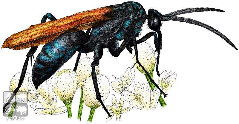 Tarantula Hawk Wasp By Rogerdhall On Deviantart