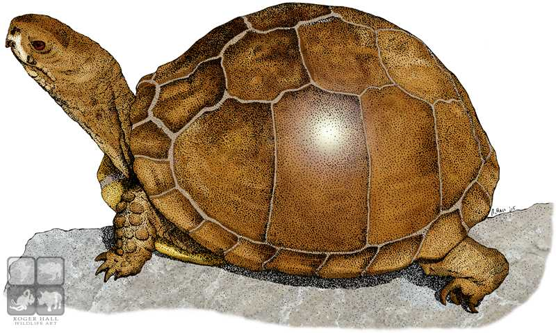 three toed box turtle by rogerdhall on deviantart
