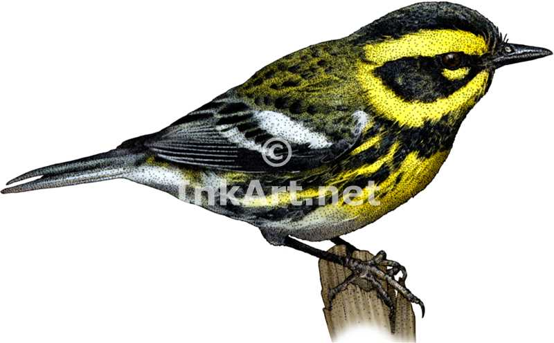 Townsend's Warbler by rogerdhall