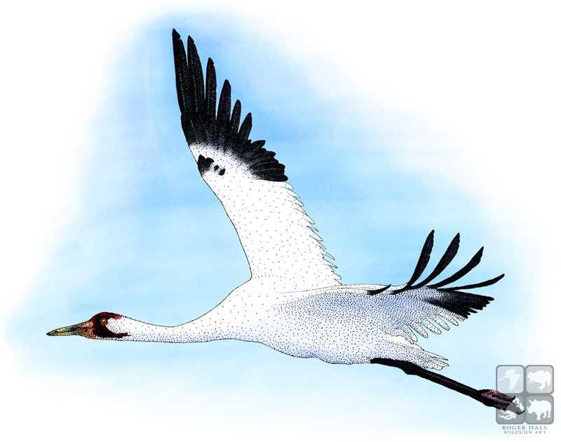 Whooping Crane By Rogerdhall On DeviantArt