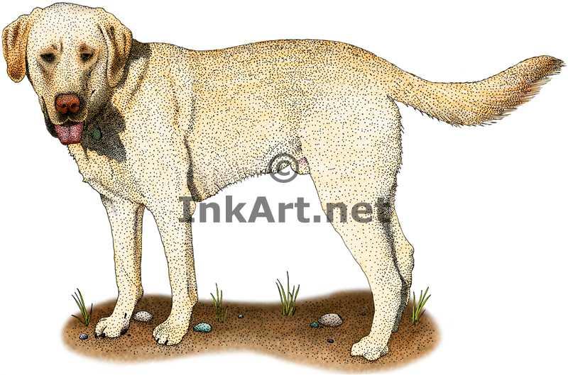 Yellow Labrador Retriever by rogerdhall