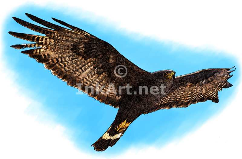 Zone-Tailed Hawk by rogerdhall