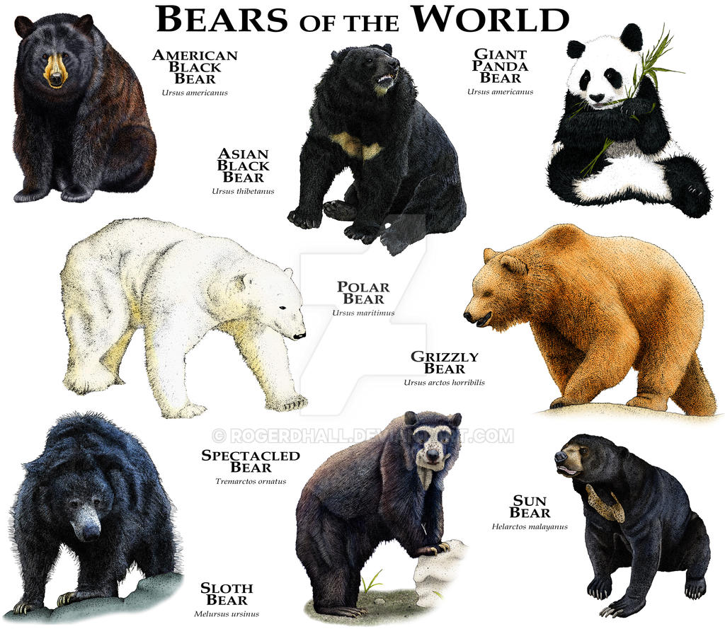 Bears of the World by rogerdhall on DeviantArt Bear Species Chart