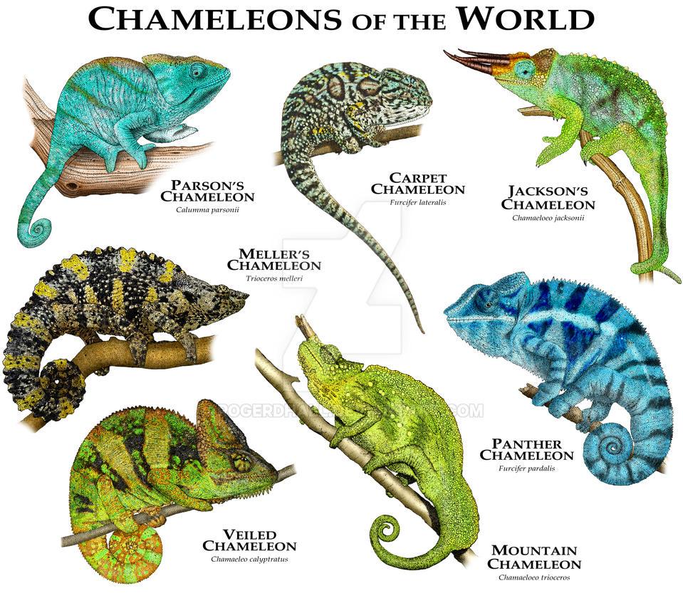 Veiled Chameleon Color Chart   www.pixshark.com - Images