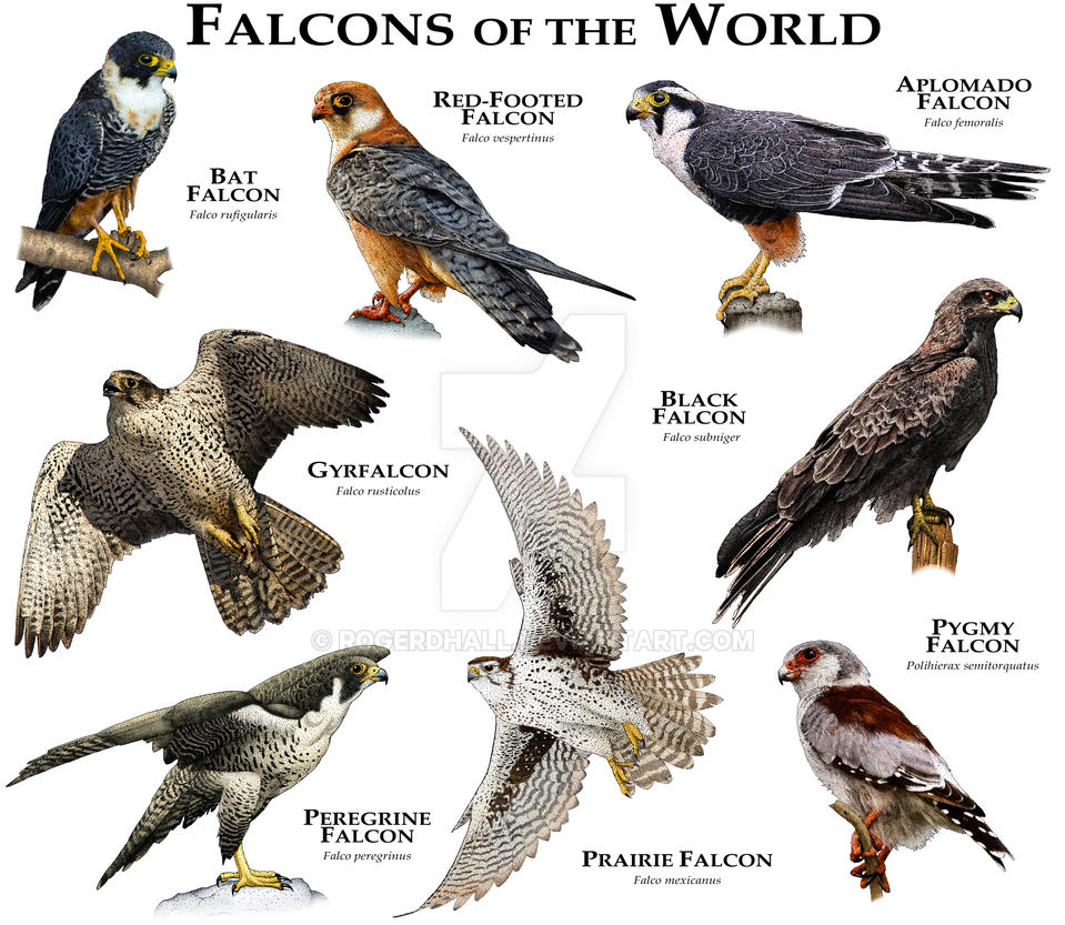 falcons of the world by rogerdhall on deviantart zebra print clip art border free zebra print clip art free