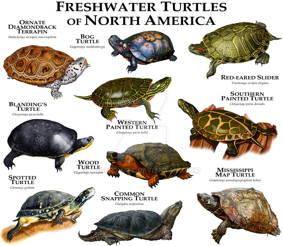 Freshwater Turtles of North America by rogerdhall
