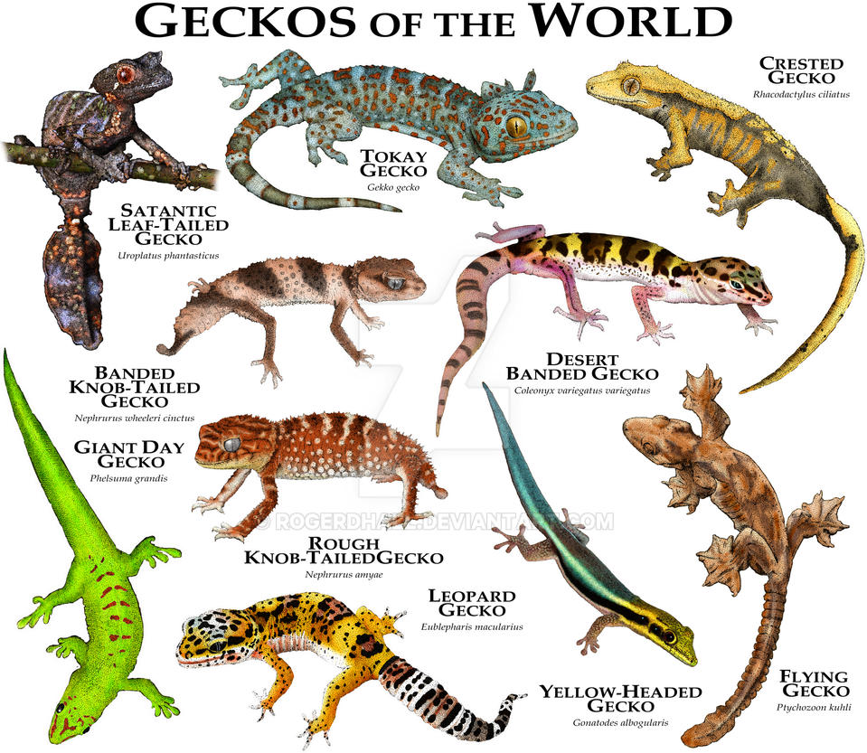 Geckos of the world by rogerdhall on deviantart - Chat type leopard ...