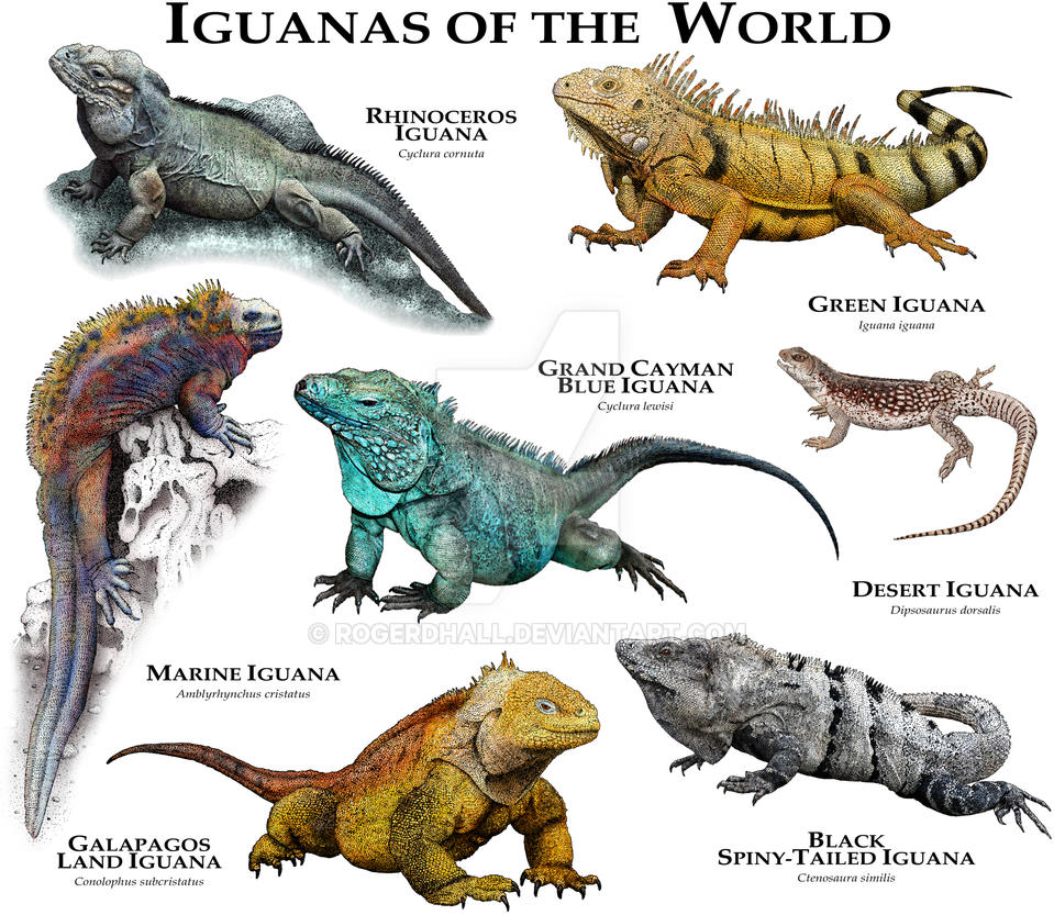 Iguanas Of The World By Rogerdhall On DeviantArt
