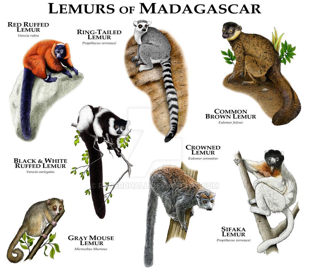 Endangered rainforest animals wallpaper - Lemurs Of Madagascar By Rogerdhall On Deviantart