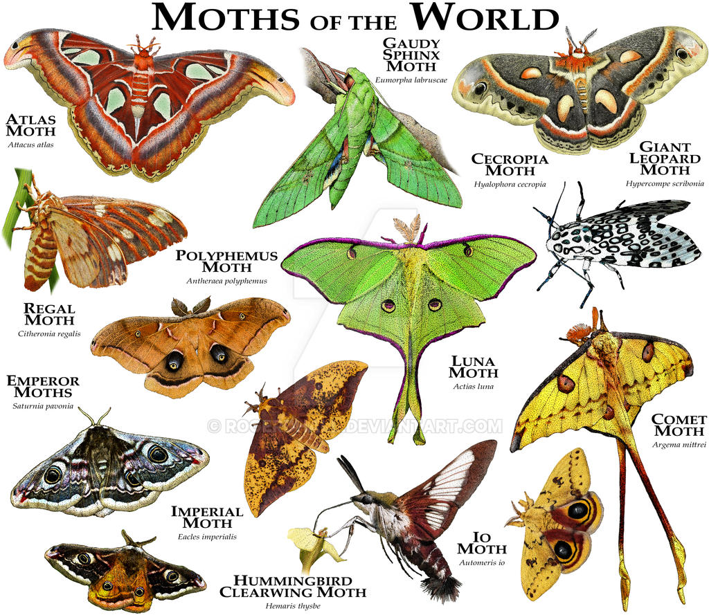 Moths Of The World By Rogerdhall On Deviantart