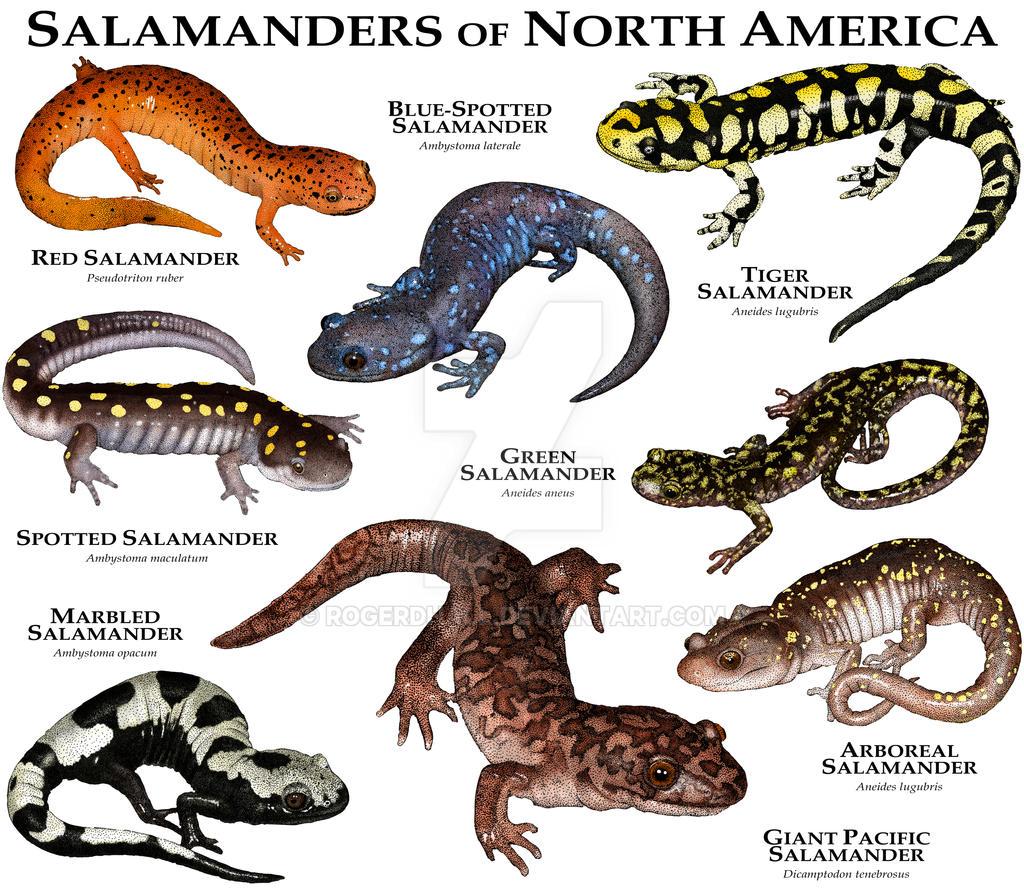 N American Salamander Salamanders Newts by r...