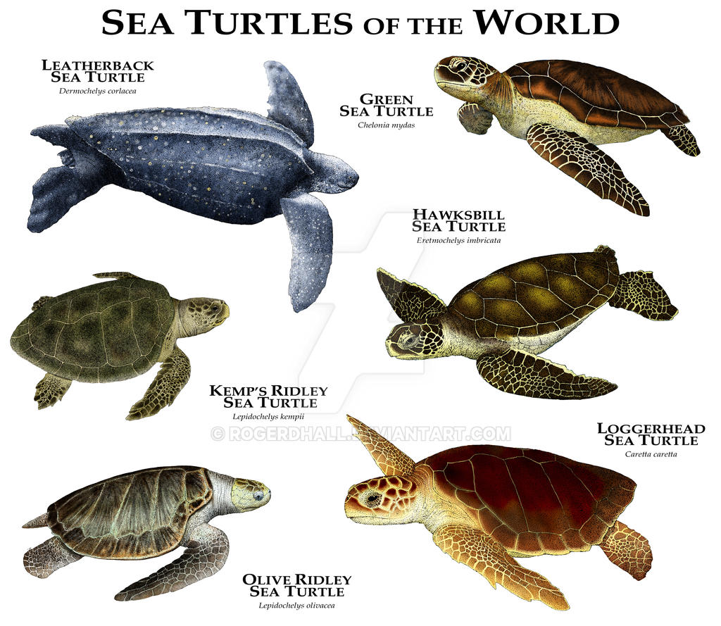Sea Turtles of the World