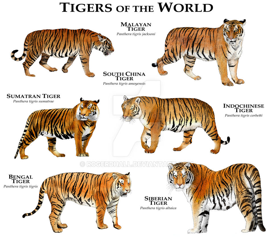 characteristics of tigers Tigers behavior social structure tigers are territorial and usually solitary in nature their social system is connected through visual signals, scent marks and vocalizations tigers are usually solitary in nature, interacting briefly only for mating purposes and occasionally to share their kill.