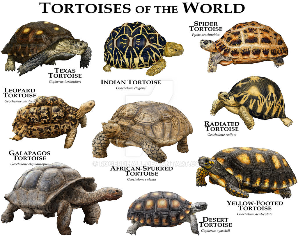 Tortoises of the world by rogerdhall on deviantart - Different types of cuisines in the world ...