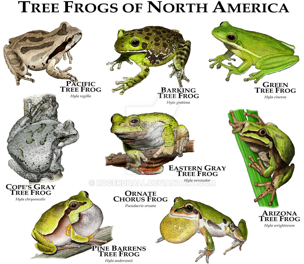 Tree Frogs Of North America By Rogerdhall On DeviantArt