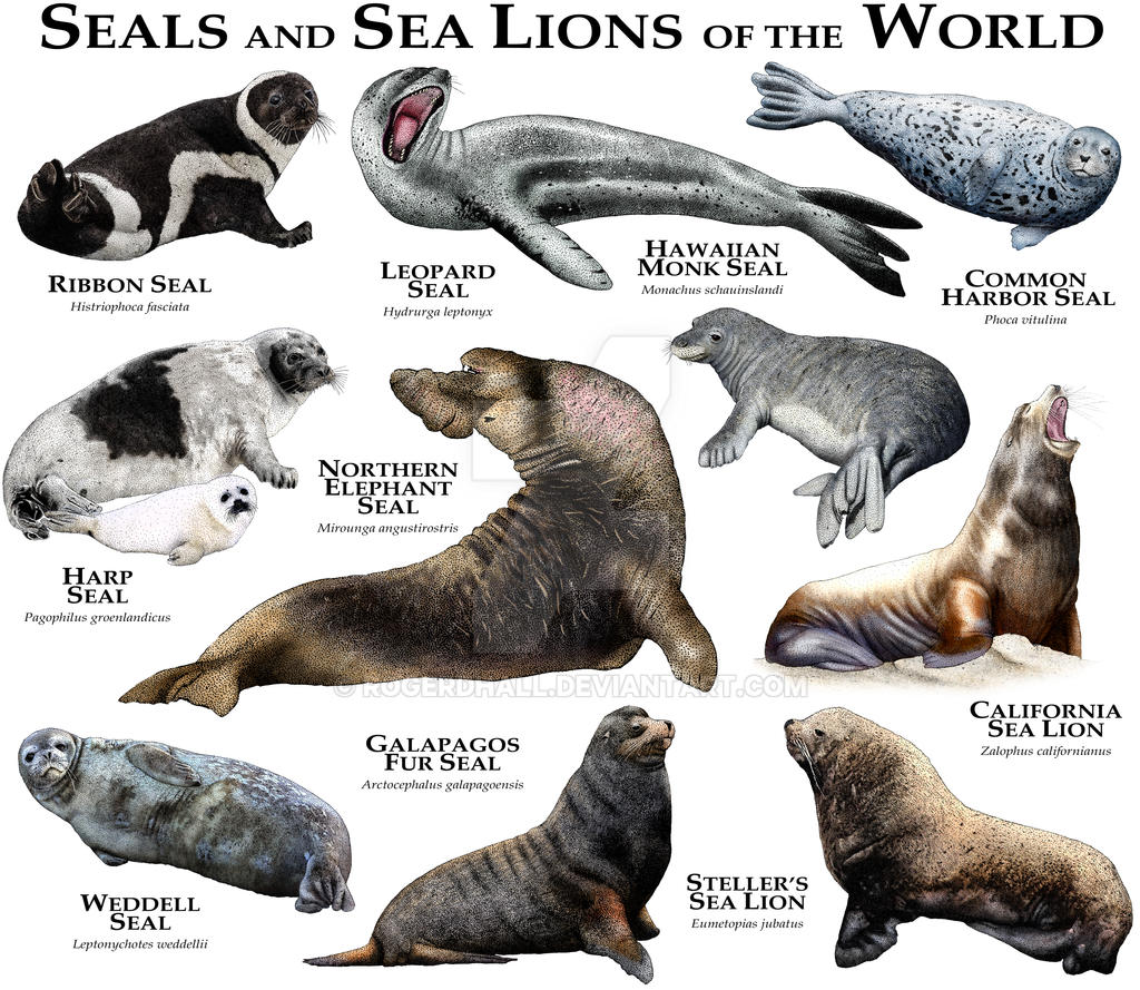 Seals and Sea Lions of the World by rogerdhall on DeviantArt