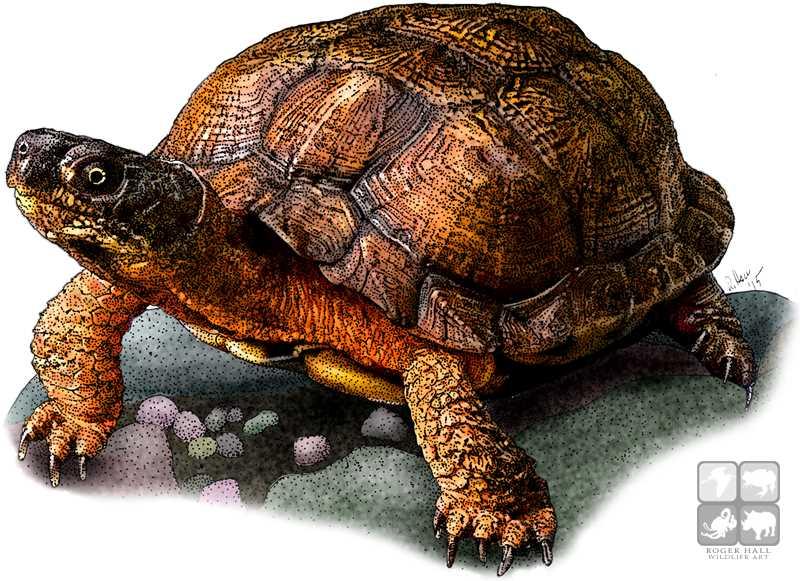 Wood Turtle by rogerdhall