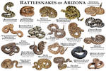Rattlesnakes Of Arizona