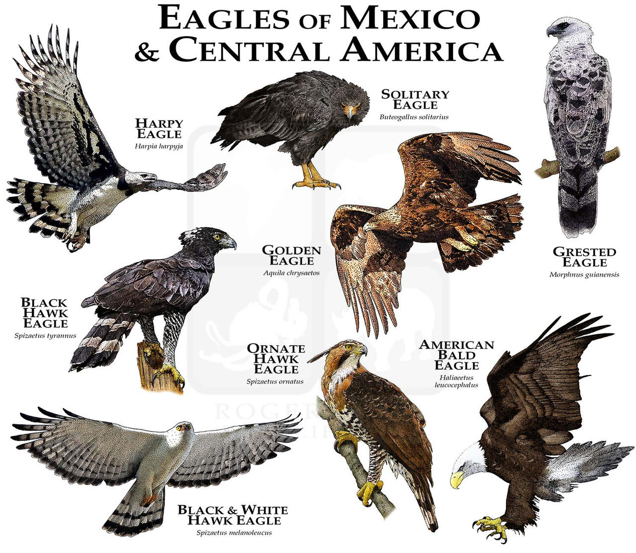 Eagles of Mexico and Central America by rogerdhall on DeviantArt