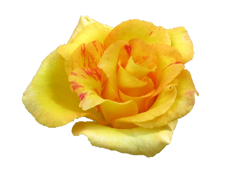 Yellow Rose PNG