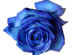 Blue Rose PNG