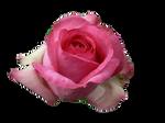 Pink Rose 2 PNG