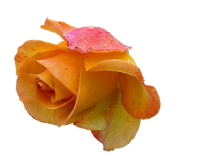 Yellow Rose 2 PNG