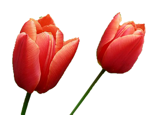 Red Tulips PNG