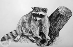 Raccoon by Kivuli