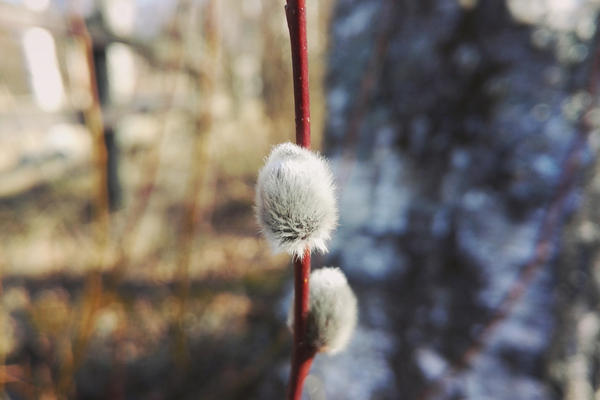 Catkin by Decial