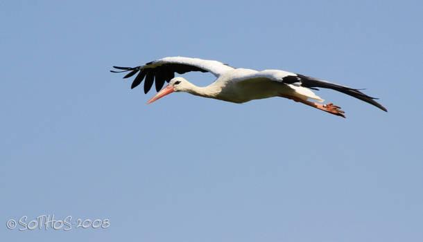 Flying White Stork