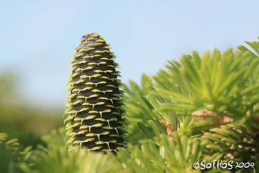 Spruce cone series 1