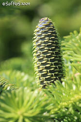 Spruce cone series 2