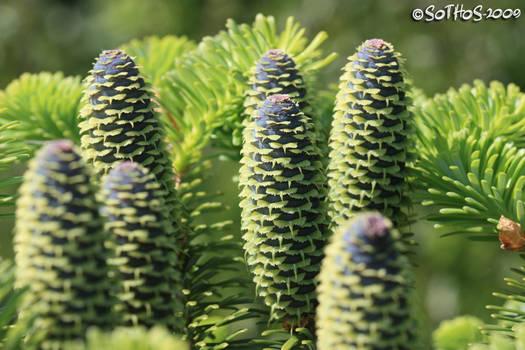 Spruce cone series 3