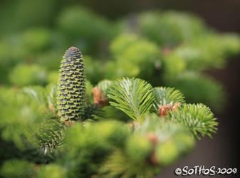 Spruce cone series 4