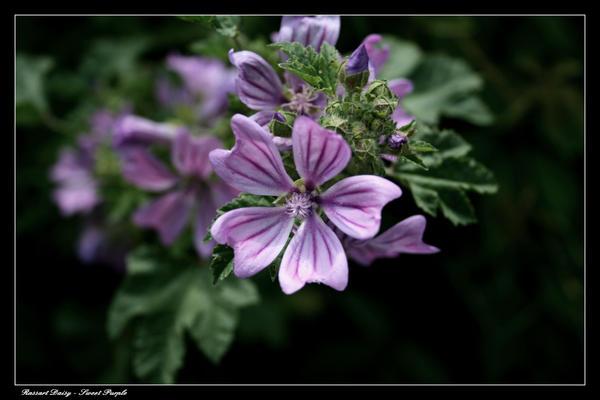 http://fc00.deviantart.net/fs38/i/2008/338/3/8/Sweet_Purple_by_Amoucente.jpg